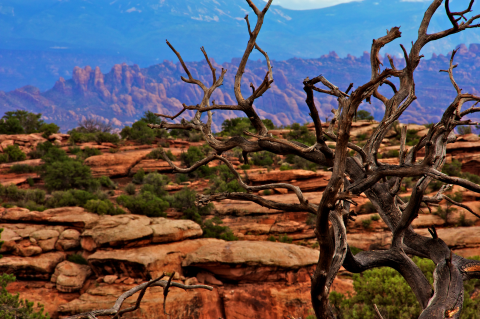 Twisted, petrified trees found in Arches National Park, UT reach upwards.